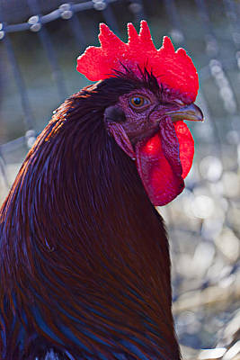 Comb Photograph - Rooster With Bright Red Comb by Garry Gay