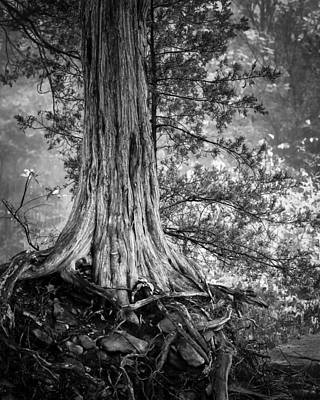 Rooted In Black And White Print by James Barber