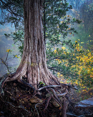 Rooted Print by James Barber