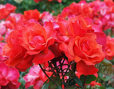 Garden Flowers Photograph - Rose Abundance by Rona Black