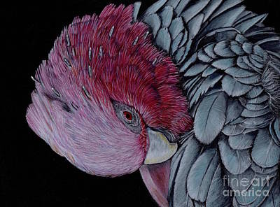 Cockatoo Drawing - Rose-breasted Cockatoo In Colour Pencil by Diane McWhirter