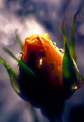 Yellow Photograph - Rose Bud In The Highlight by Lilia D