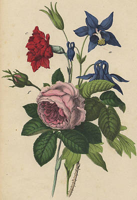 Rose Carnation Aquilegia Print by German Botanical Artist