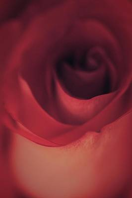 Love Photograph - Rose In The Dark by  The Art Of Marilyn Ridoutt-Greene