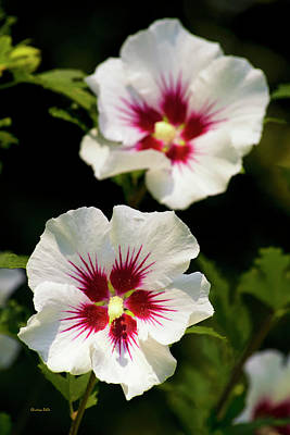 Althea Photograph - Rose Of Sharon by Christina Rollo