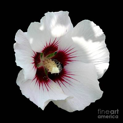 Rose Of Sharon Flower And Bumble Bee Print by Rose Santuci-Sofranko