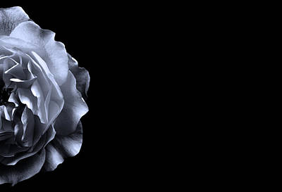 Nature Photograph - Rose On Black by Mark Rogan