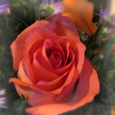 Photograph - Rose by Patricia Urato