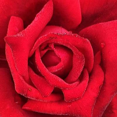 Roses Photograph - Rose #red #rose #flower #garden by Joan McCool