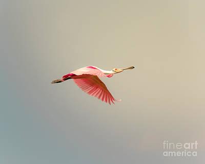Roseate Spoonbill Flying Print by Robert Frederick