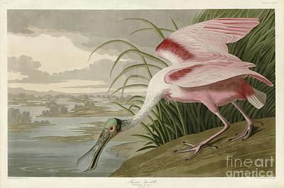 Spoonbill Painting - Roseate Spoonbill by John James Audubon
