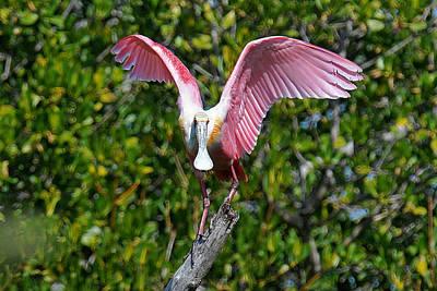 Roseate Spoonbill Wings Spread Original by Alan Lenk