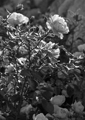 Roses In Sunlight Print by Lise-Lotte Larsson