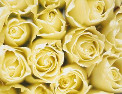 Flowers Flowers And Flowers Photograph - Roses by Sandro Sodano