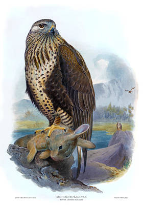 Buzzard Drawing - Rough Legged Buzzard Hawk Antique Bird Print The Birds Of Great Britain by Joseph Wolf - HC Richter