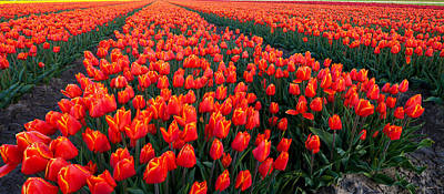 In A Row Photograph - Rows Of Red Tulips In Bloom, North by Panoramic Images