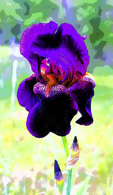 Royal Purple Iris Image Print by Paul Price