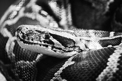 Royal Python-002 Original by David Allen Pierson