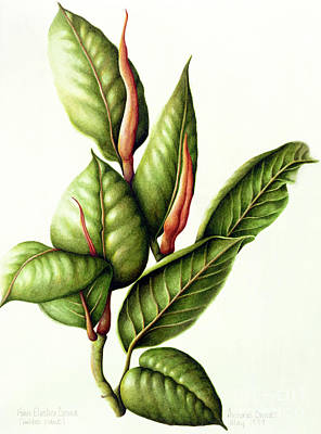 Nature Study Painting - Rubber Plant by Annabel Barrett