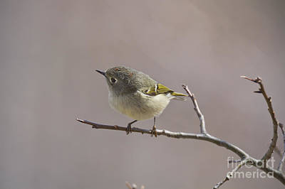 Ruby-crowned Kinglet Print by Cameron Williams