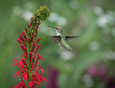 Photograph - Ruby Throated Hummingbird 2016-4 by Thomas Young