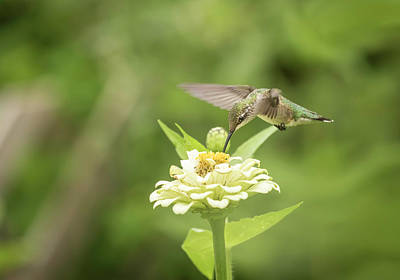 Photograph - Ruby Throated Hummingbird 2016-5 by Thomas Young
