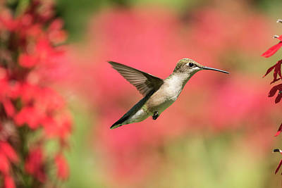 Photograph - Ruby Throated Hummingbird 2016-6 by Thomas Young