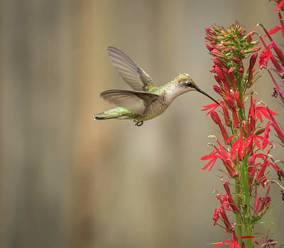 Photograph - Ruby Throated Hummingbird 2016-7 by Thomas Young