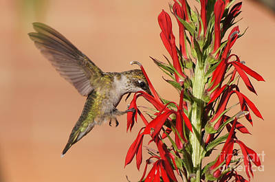 Photograph - Ruby-throated Hummingbird Dining On Cardinal Flower by Robert E Alter Reflections of Infinity