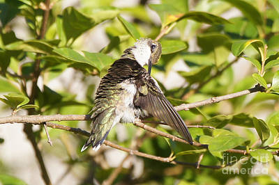Photograph - Ruby-throated Hummingbird Preening 1 by Robert E Alter Reflections of Infinity