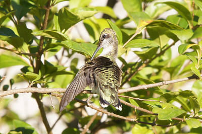 Photograph - Ruby-throated Hummingbird Preening 2 by Robert E Alter Reflections of Infinity
