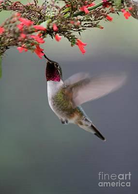 Ruby Throated Hummingbird Print by Sabrina L Ryan