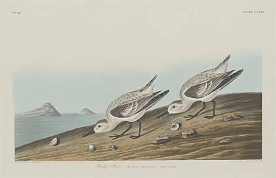 Plovers Drawing - Ruddy Plover by John James Audubon