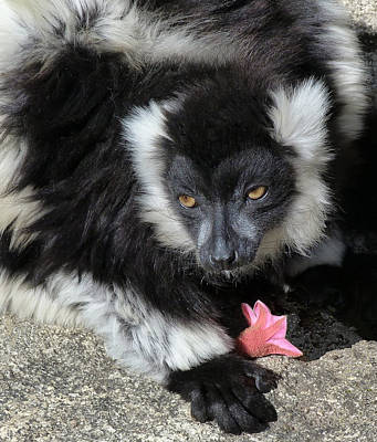 Ruffed Lemur With Pink Flower Print by Margaret Saheed