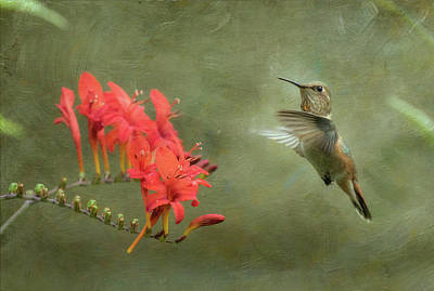Rufous Hummingbird And Crocosmia Print by Angie Vogel
