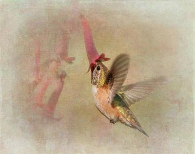 Rufous Hummingbird In Cape Fuchshia Print by Angie Vogel