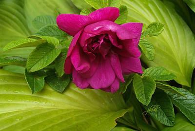 Photograph - Rugosa Rose by J R Baldini