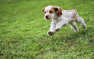Cute Puppy Photograph - Running Cocker Spaniel Puppy by Dan Sproul