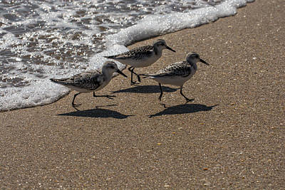 Sandpiper Photograph - Running From The Water by Zina Stromberg