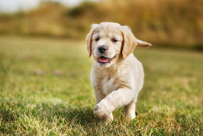 Running Golden Retriever Puppy Print by Mikkel Bigandt