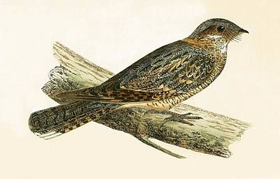 Neck Drawing - Russet Necked Nightjar by English School