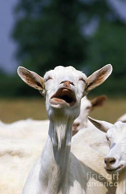 Saanen Goat Photograph - Saanen Goat, Calling by Gerard Lacz