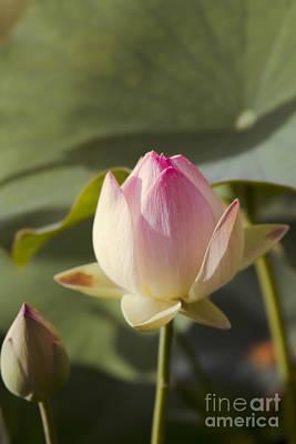 Sacred Lotus - Nelumbo Print by Sharon Mau