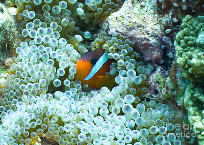 Clown Fish Photograph - Safe Haven by Brian Governale