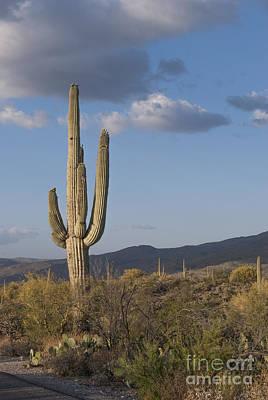 Sonoran Desert Photograph - Saguaro Cactus by Juli Scalzi