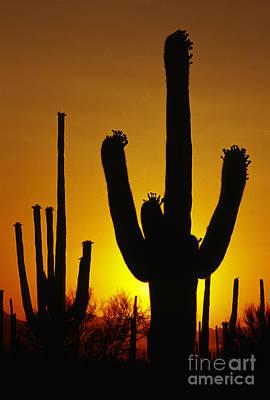 Saguaro Sunset Print by Sandra Bronstein