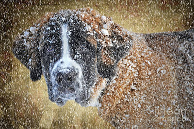 Saint Bernard Print by Stephen Smith