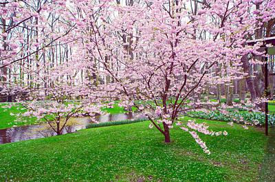 Sakura Bloom In Keukenhof Garden Print by Jenny Rainbow