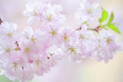 Photograph - Sakura Blossom by Jenny Rainbow