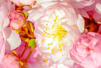 Sakura Cherry Flower - Wedding Of Nature Print by Alexander Senin